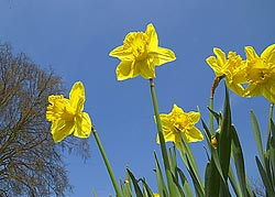 creative photo of daffodils taken from below looking up