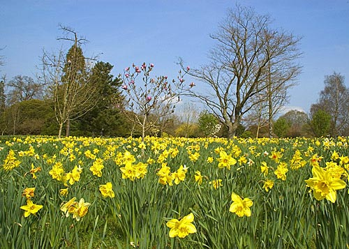 picture of a daffodil, set against a field of daffodils