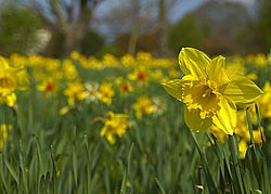picture of daffodil flowers