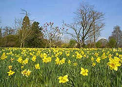 picture of a field of daffodils