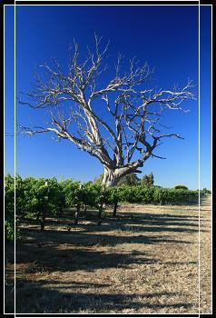 Dead tree @ Winery