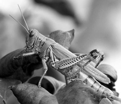 A very cooperative grasshopper