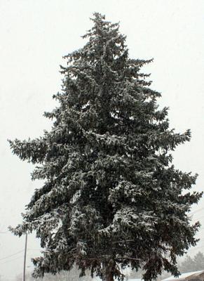 Heavy with new snow
